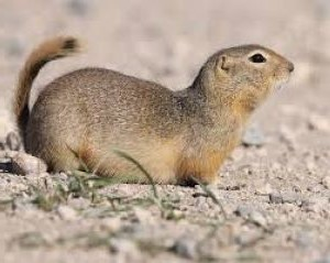 What Ground Squirrels Look Like