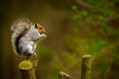 Squirrels are always around during the day but where do they go at night?